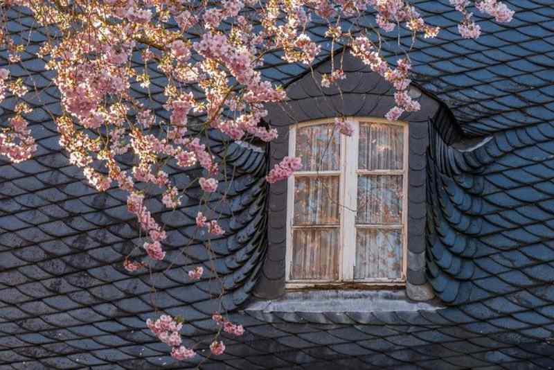 Slate roofing tiles installed around a dormer with beautiful flowering tree in front of it